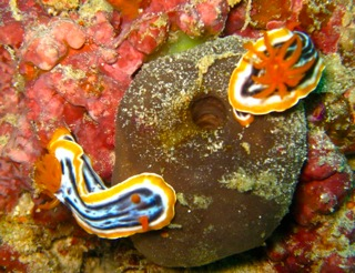 Two Nudibranches